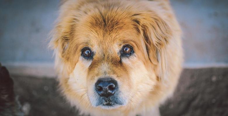 [NJEGA PASA] Kupanje, šišanje ili trimanje i feniranje za srednje i velike pse - kraljevski tretman za vašeg kuštravog ljubimca već od 149 kn!